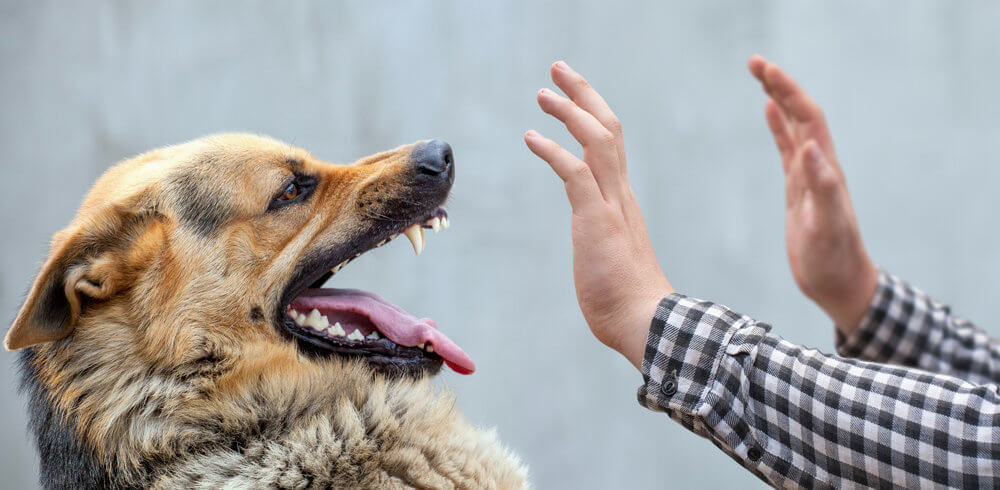 German Shepard baring teeth at outstretched hands